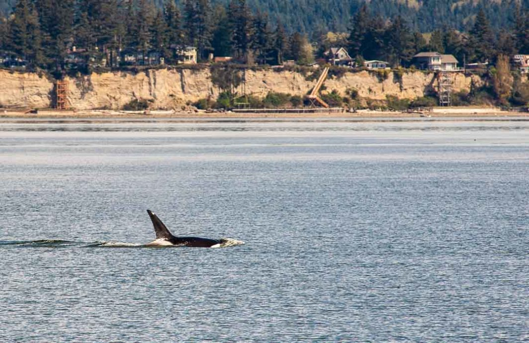 An orca, or killer whale, a few hundred yards from shore