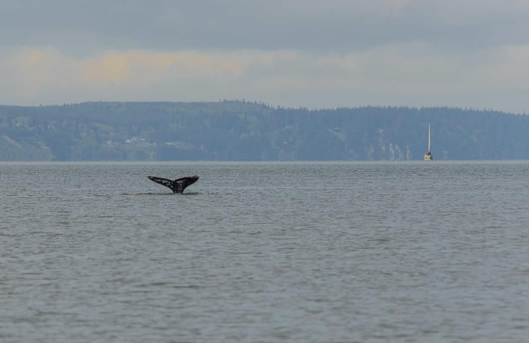 A whale fluke sticks out of the water
