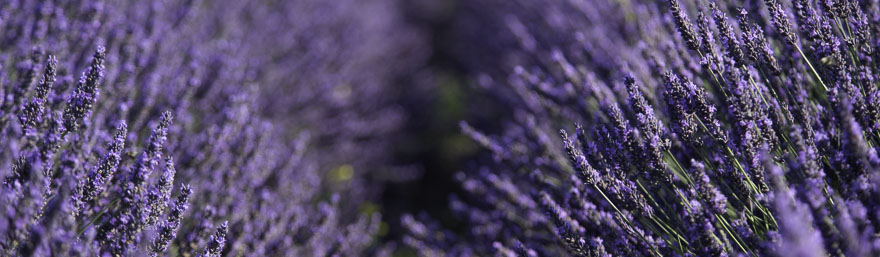 Lavender DNS2018