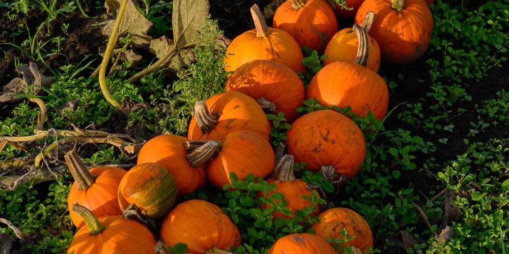 Pumpkins_DSC_3174