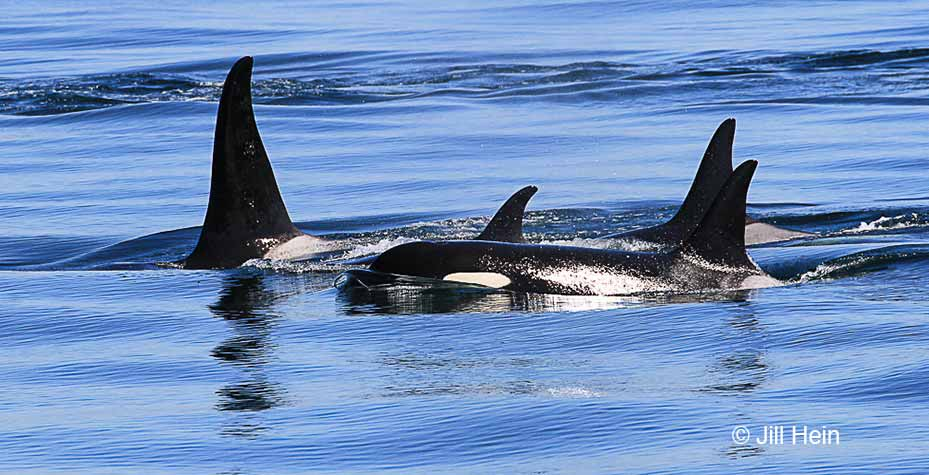A pod of orca swim in Puget Sound