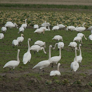 Port Susan Snow Goose and Birding Festival February 25 – 26
