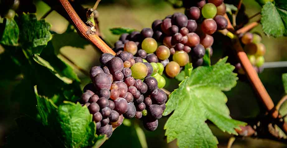 Several bunches of red grapes ripen in the sun.