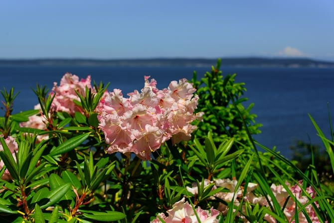 Pink rhododendrons overlook the water of Penn Cove