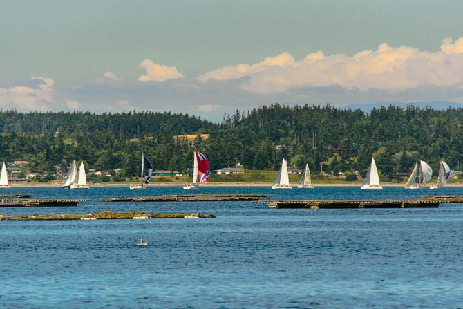 12 sailboats are in the distance while the floating rafts where Penn Cove mussels grow are in the foreground.