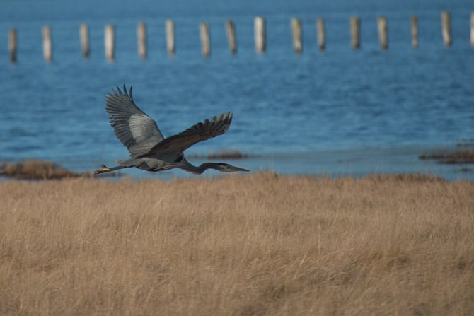 heron flying with blue water of a lake in the background