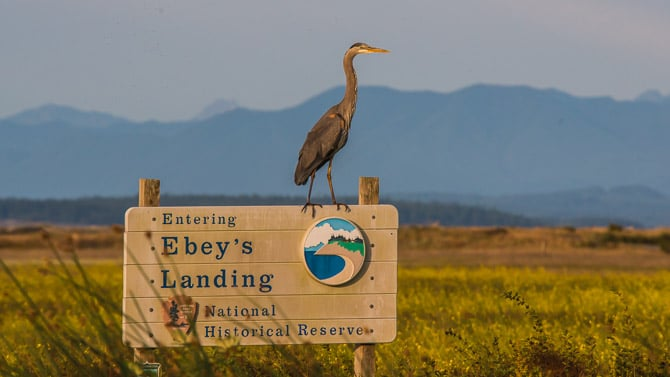 Great Blue heron sits on top of a sign.