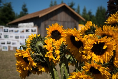 Giant sunflowers and an old wooden building.