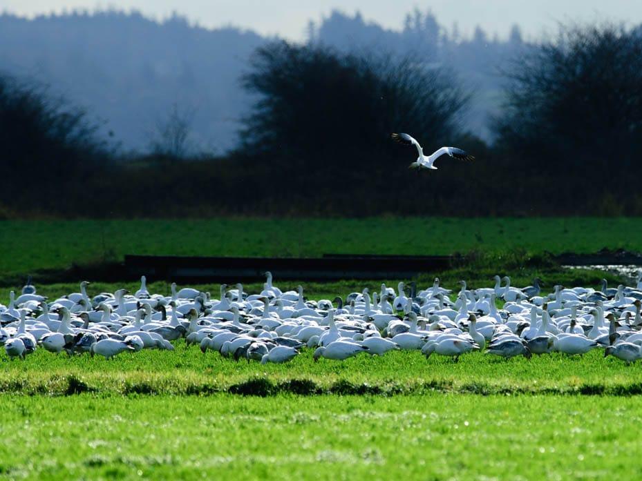 snow-geese-dsc_0022