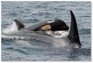Two orca in the water