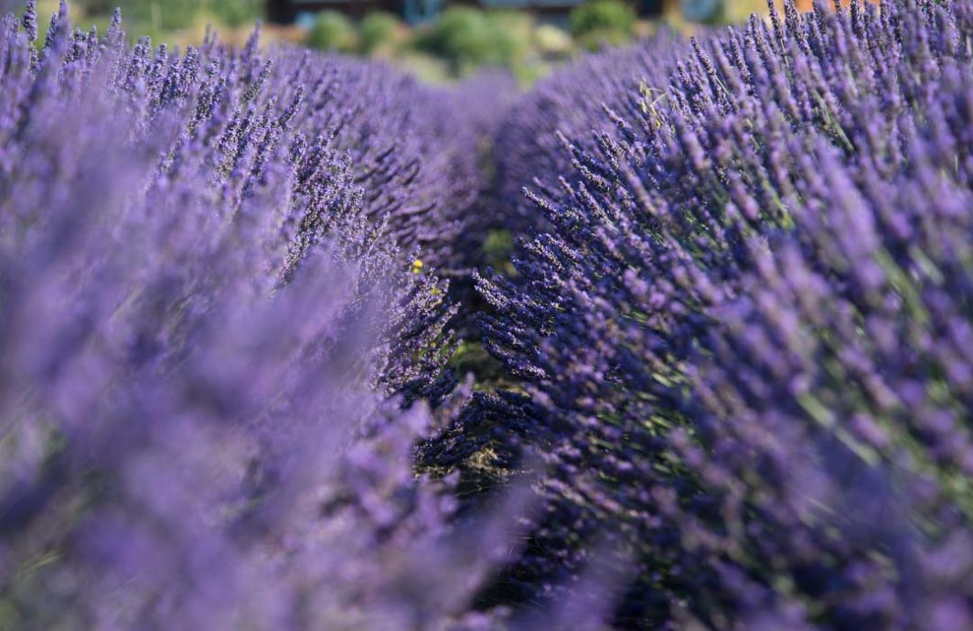 A row of lavender plants
