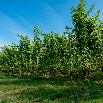 Grape Vines growing on a sunny day with blue skies