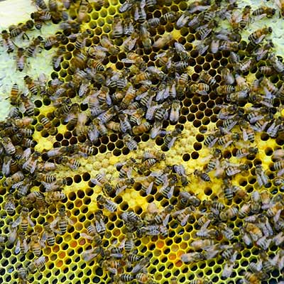 A close view of honey bees on a honey comb.