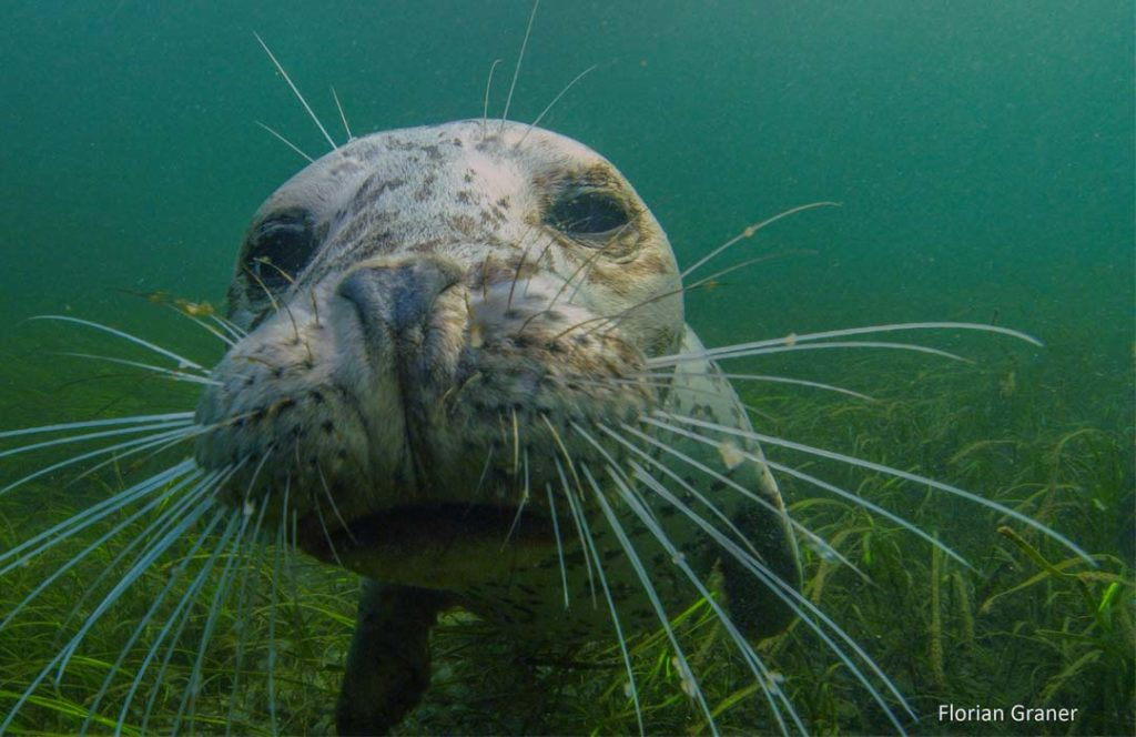 A harbor seal looks into the camera