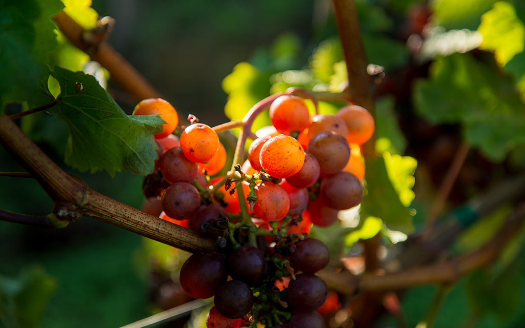 Whidbey Island Winery PIX8550